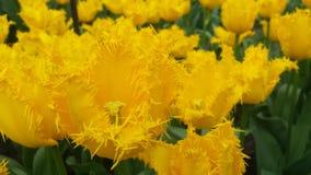 Tulipani gialli Fotografia Stock