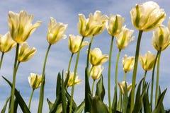 Tulipani gialli Fotografia Stock Libera da Diritti