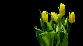 Tulipani gialli al rallentatore stock footage