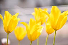 Tulipani gialli alla biblioteca di Detroit Immagini Stock