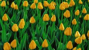 Tulipani gialli che crescono su un campo fotografia stock libera da diritti