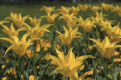 Tulipani gialli con i petali aguzzi Fotografie Stock Libere da Diritti