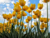 Tulipani gialli con il fondo del cielo blu Fotografia Stock