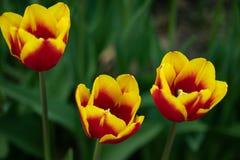 Tulipani gialli con il modello rosso su un fondo verde di fogliame in molla in anticipo fotografia stock