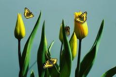 Tulipani gialli con le farfalle su un blu Fotografia Stock