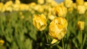 Tulipani gialli contro il cielo archivi video