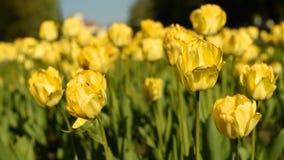 Tulipani gialli contro il cielo stock footage
