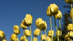 Tulipani gialli contro il cielo video d archivio