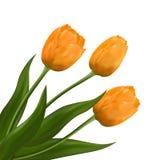 Tulipani gialli dei fiori Immagini Stock