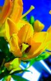 Tulipani gialli della primavera Fotografie Stock Libere da Diritti