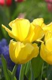 Tulipani gialli della primavera Fotografia Stock