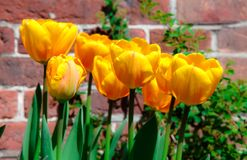 Tulipani gialli della primavera che fioriscono con i gambi verdi contro un fondo rosso rustico del muro di mattoni Immagine Stock Libera da Diritti