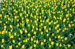 Tulipani gialli durante la molla Fotografie Stock Libere da Diritti