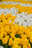 Tulipani gialli e bianchi Fotografie Stock