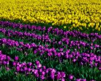Tulipani gialli e porpora in piena fioritura Fotografia Stock