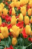 Tulipani gialli e rossi Immagine Stock