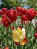 Tulipani gialli e rossi Immagini Stock Libere da Diritti