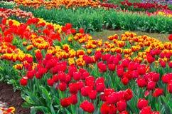 Tulipani gialli e rossi Fotografia Stock