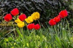 Tulipani gialli e rossi che piegano verso il sole fotografia stock libera da diritti