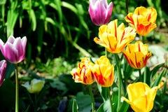 Tulipani gialli e viola fotografia stock libera da diritti