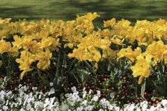 Tulipani gialli e viole del pensiero bianche Immagine Stock