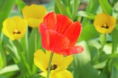 Tulipani gialli ed uno rossi su un fondo di giallo immagini stock