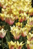 Tulipani gialli in fioritura Fotografia Stock Libera da Diritti