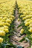 Tulipani gialli in Flevoland nei nederlands immagine stock