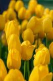 Tulipani gialli in giardino sul fondo del bokeh All'aperto, molla Immagini Stock Libere da Diritti