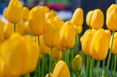 Tulipani gialli in giardino sul fondo del bokeh All'aperto, molla Immagine Stock