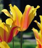 Tulipani gialli isolati con striatura arancio e rosa immagini stock libere da diritti