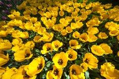 Tulipani gialli, Keukenhof, Paesi Bassi Fotografia Stock