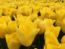 Tulipani gialli nel campo Fotografia Stock
