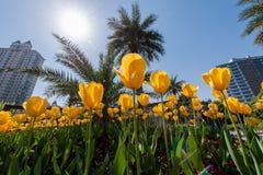 Tulipani gialli in parco di Shanghai, Cina fotografie stock