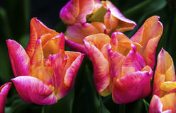 Tulipani gialli rosa Keukenhoff Lisse Holland Netherlands fotografia stock