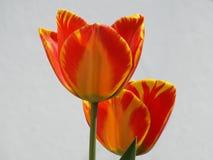 Tulipani gialli rossi striati Fotografia Stock
