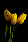Tulipani gialli sparati contro la priorità bassa nera del velluto Fotografia Stock