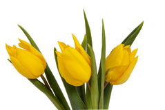 Tulipani gialli sul BAC bianco Fotografia Stock Libera da Diritti