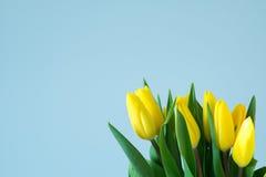 Tulipani gialli sul lato destro di fondo blu-chiaro Fotografie Stock