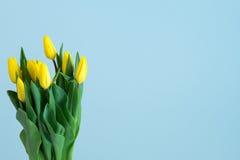 Tulipani gialli sul lato sinistro di fondo blu-chiaro Fotografia Stock
