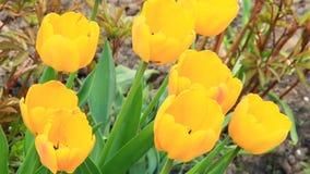 Tulipani gialli sul letto di fiore in giardino Giardino della sorgente video d archivio