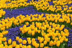 Tulipani gialli in un giardino fotografia stock