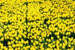 Tulipani gialli in un giardino immagini stock libere da diritti