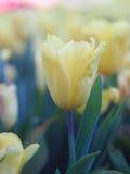 Tulipani gialli uno nel giardino Immagini Stock