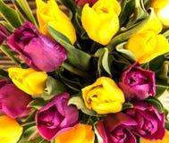 Tulipani giallo e viola olandesi Immagini Stock Libere da Diritti