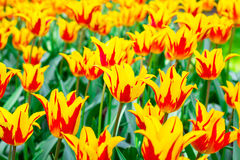 tulipani Giallo-rossi un giorno soleggiato Fotografia Stock