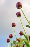 Tulipani in giardino Immagini Stock