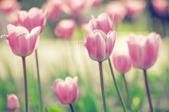 Tulipani in giardino Fotografia Stock Libera da Diritti