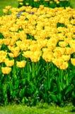 Tulipani in giardino Immagine Stock