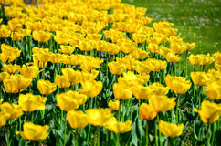 Tulipani in giardino da Ceco Immagini Stock Libere da Diritti